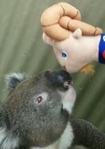 Titi Koala ben Et Titi Australie